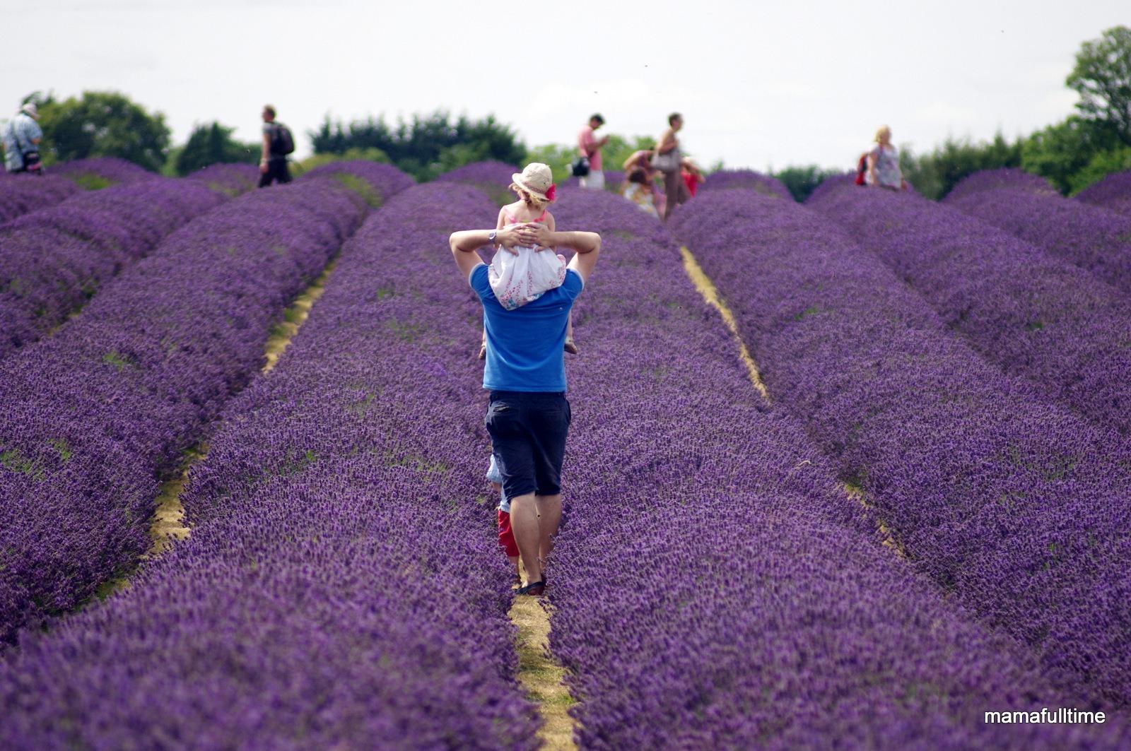 lawendowe pole w Anglii – lavender field