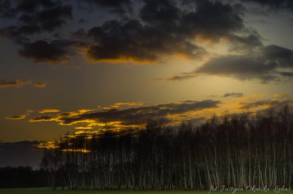 zachodzące słońce nad brzozowym laskiem